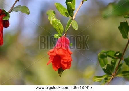 Pomegranate Flower With Selective Focus Points Background, Close Up Of Pomegranate Flower On Tree Of