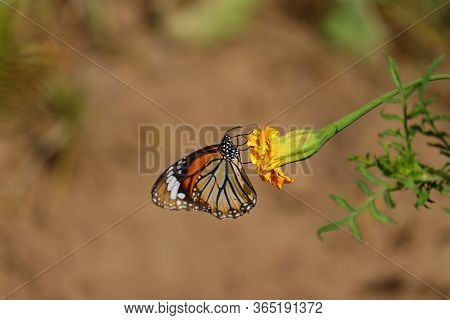 Monarch Butterfly And Copy Space Background, Close Up Of Monarch Butterfly On Marigold Flower, Monar