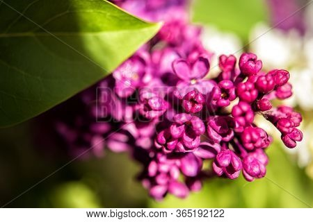 Macro Lilac Blossom Flowers Spring Background. Spring Lilac Blossom Bloom Macro View. Spring Lilac F