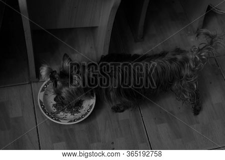 Dog Eats From His Bowl.dog Eats From His Bowl