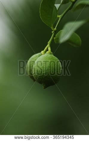 Green Branch With Fresh Leaves And Small Unripe Fruits Close Up Shot Shallow Depth Of Filed Green Ba