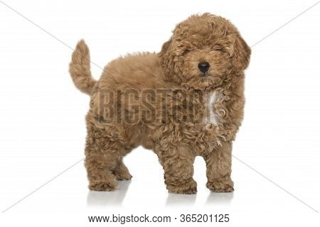 Toy Poodle Apricot Pup In Studio Isolated On White Background.