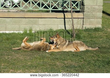 Two Fawn Dogs In Collars Play, Jokingly Bite Each Other, Wallowing On The Grass