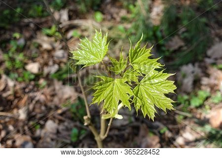 Young Delicate Leaves Of Maple In The Spring Season
