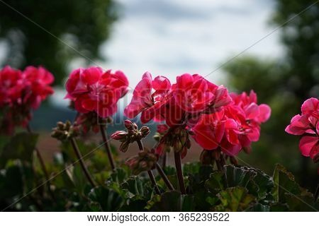 Geraniums And Petunias Are Easy-care Plants And Are Particularly Suitable As Potted Plants To Beauti