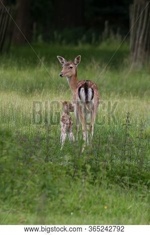 Female Fallow Deer With Her Young Fawn