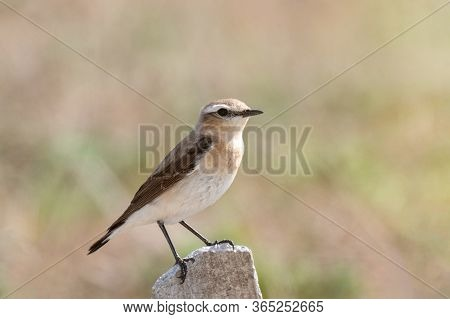 Northern Wheatear Oenanthe Oenanthe, Sitting On A Rock. Close Up.
