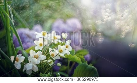 The Single Japanese Anemone Or Anemone Hupehensis Or Thimble Chinese Anemone Is A Hybrid Flowering P