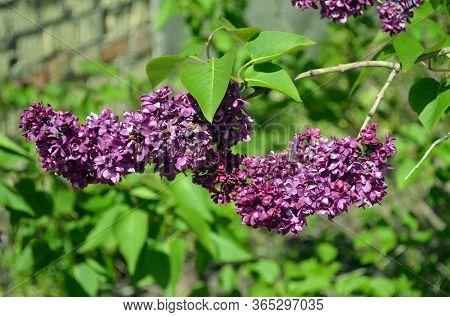 Blossom lilac flowers in spring in garden. branch of Blossoming purple lilacs in spring. Blooming lilac bush. Blossoming purple and violet lilac flowers. Spring season, nature background. aroma,