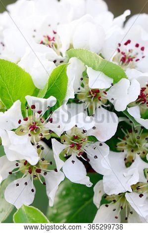 Pear Blossoms. Branch Of Blossoming Pear. White Flowers Of Fruit Tree.beautiful Flowers Of Pear.flow
