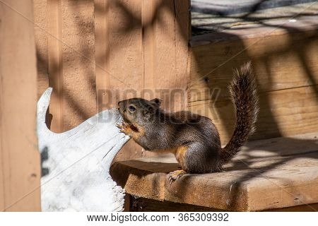 A Picture Of A Douglas Squirrel Gnawing The Moose Horn.       Vancouver Bc Canada