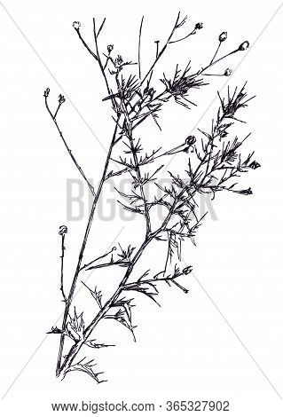 Black And White Graphic Drawing Last Years Dry Spiny Plant