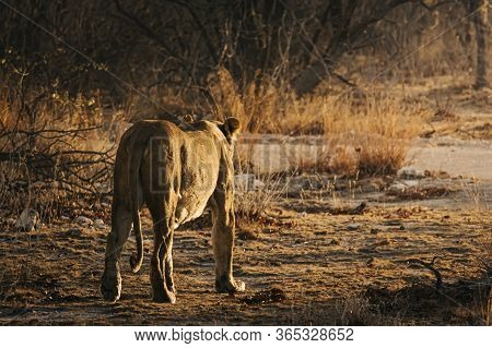 Lioness Walking Off Into The Sunset In The Bushlands Of Etosha National Park, Namibia.