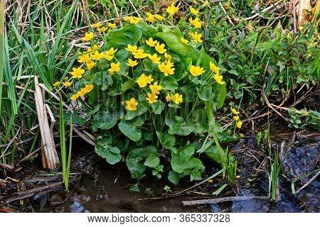Marsh-marigold (caltha Palustris) On The Banks Of The Creek.