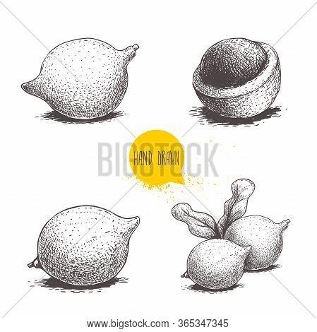 Hand Drawn Sketch Style Macadamia Nuts Set. Whole And Half Peeled Macadamia Fruits. Vector Illustrat