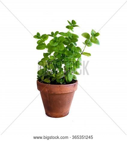 Mint Plant In Clay Pot. Isolated On White Background.