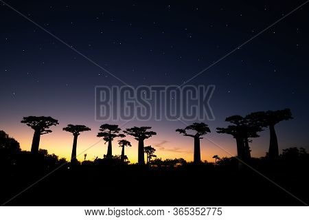A Baobab Avenue At Sunset With Many Stars In The Sky