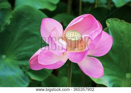 Species Of Perennial Herbaceous Amphibians From The Genus Lotus (nelumbo) Of The Monotypic Family Lo