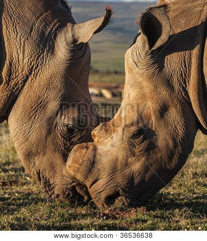Rhinoceros Kiss
