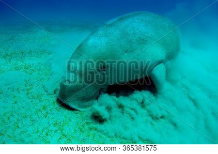 Close View On Cute And Amazing Dugong.underwater Shot. Looking On Quite Rare Ocean Animal Who Eating