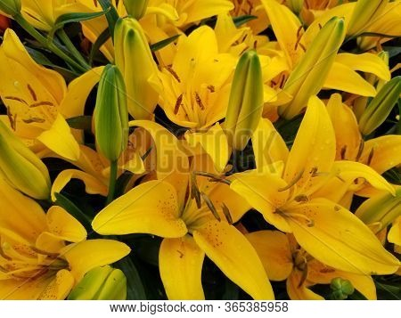 Beautiful Yellow Asiatic Lily Flowers At Full Bloom