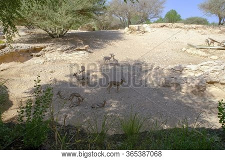 Herd Of Beautiful Sand Arabian Gazelles Among Old Desert Trees On A Stoned Hill In Uae. Picturesque