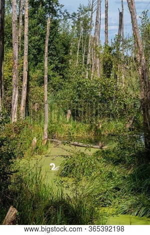Beautiful forest landscape with white swan on the river in wilderness. Summer landscape of European forest with swan on the water