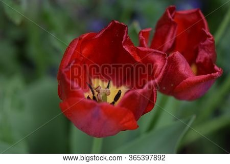 Macro Shot Of Red Flowers With Pistil