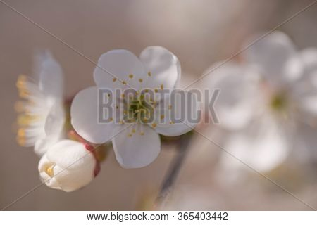 Spring In Cherry Orchard.\ncherry Orchard, Cultivation Of Fruit Trees. It\'s A Sunny Spring Day. You