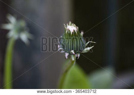 Yellow Dandelions. Flowers Dandelions In Bud On Dark Background , Selective Focus