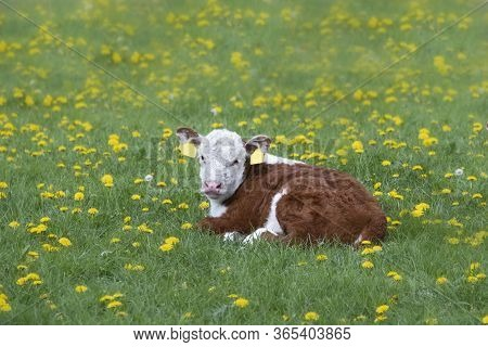 Brown And White Cattle Hereford Calf On Pastureat, Looking At The Camera, Lie In The Grass