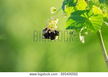 A Shaggy Bumblebee Hangs On A Blooming Currant Flower, Against A Blurred Green Natural Background. M
