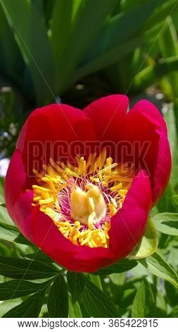 Newly Blossomed Spring Peony Surrounded By Garden Greenery