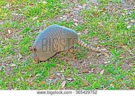 Armadillo Searching For Food In The Ground In The Aransas National Wildlife Refuge In Texas
