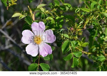Dog Rose Flower On Meadow On A Sunny Day