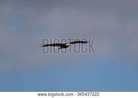 One Bald Eagle Gliding High Near The Clouds