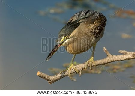 Striated Heron Or Green Backed Heron In Hunting Position Close Up Extremely Sharp And Close Image Fr