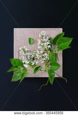 Broken Branch Of White Lilac Flowers Bloom In Canvas Beige Frame On Black Background. Floral Photo C
