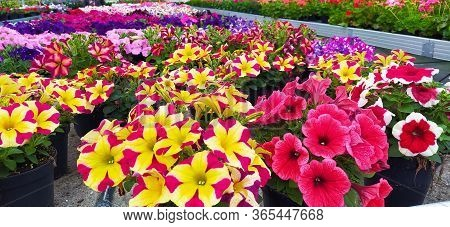 Very Colorful Flowers Arranged In Neat Rows Inside A Garden Greenhouse For Plants