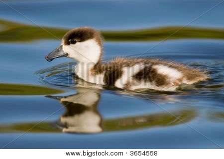 cute little duck swimming in hi resolution poster