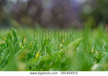 Green Grass Close Up. Green Grass, Lawn Turf Texture Background. Shallow Dof