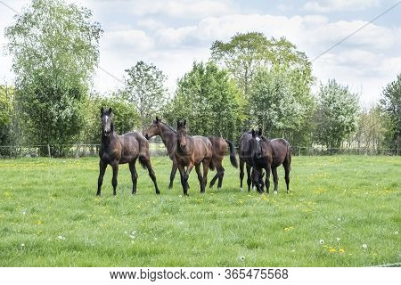 A Herd Of Young Stallions Go To Pasture For The First Time On A Sunny Spring Day. Blue Sky. Gallopin