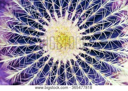 Thorn Cactus Closeup. Succulent Plant Texture Abstract Background. Natural Exotic Plant Purple Blue