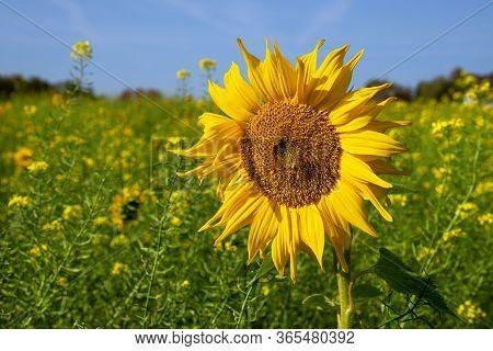 Sunflower (helianthus Annuus), Close Up Of The Flower Head
