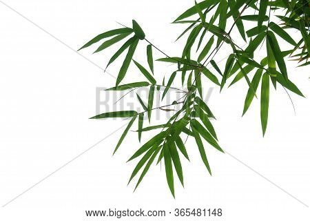 Bamboo Leaves With Branches On White Isolated Background For Green Foliage Backdrop
