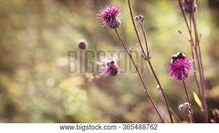 Spiny Flower Thistle With Bee On Colorful Blurred Background. Blooming Burdock. Beautiful Nature Ban