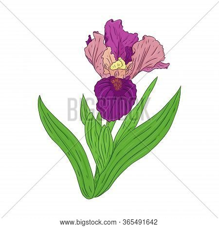 Blooming Iris. Blooming Bud On A Stem With Leaves. Color Botanical Illustration. Hand Drawn And Isol
