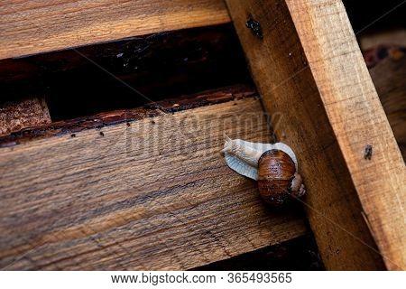 Garden Snail Crawling On A Wooden Pallet. Helix Pomatia, Common Names Roman Snail, Edible Snail. Sof