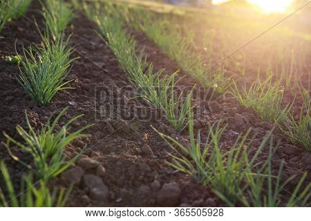 The Onion Beds On Chernozem. Green Onion Shoots At Sunset. Green Sprouts On The Ground.