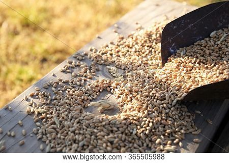 Wheat Grains In Wooden Scoop Or Shovel With Spikes Or Ears On Rustic Wooden Background .wheat Ingred